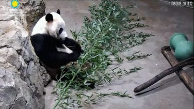 Flight to China nears for giant panda in DC