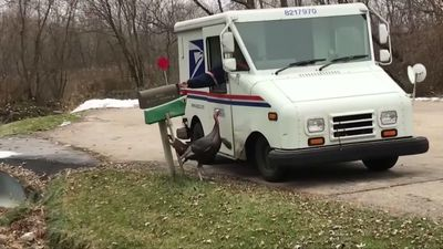 Turkey stalks Wisconsin mail carrier