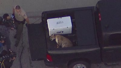 Mountain lion captured in Los Angeles suburb