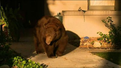 Bear takes stroll through California neighborhood
