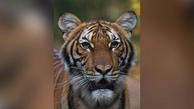 Bronx Zoo tiger tests positive for the coronavirus
