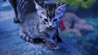 Kittens explore aquarium during virus outbreak