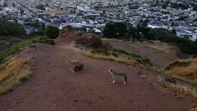 Coyotes serenade San Francisco with their howls