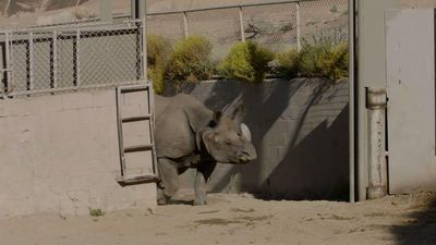 Baby rhinos get first chance to explore habitat