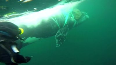 Whale rescued from fishing net in Chile