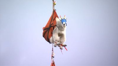No kidding: Why these goats had to fly away