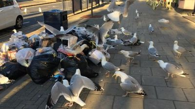 How Aberystwyth is tackling gull litter