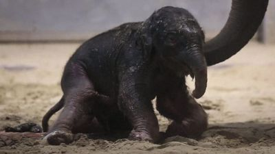 Baby elephant takes first wobbly steps
