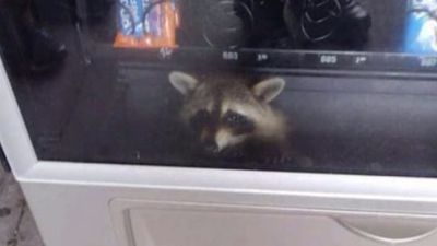 Raccoon gets stuck in vending machine