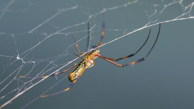 Stronger Than Steel: Synthetic Spider Silk is Real