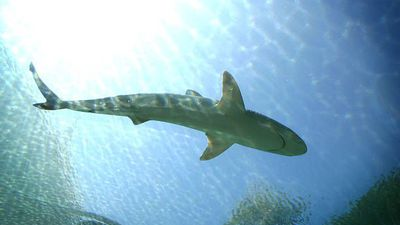 Shark finning becomes illegal in Canada
