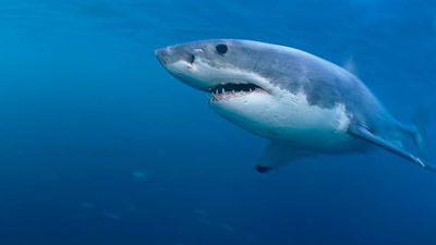 Great white shark spotted off coast of Iles-de-la-Madeleine