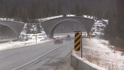 Wildlife advocates thrilled with success of overpasses in Banff National Park
