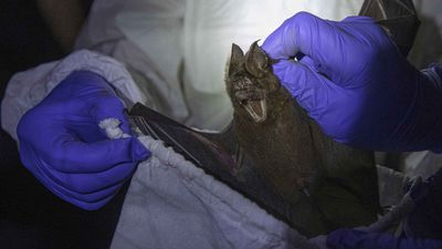 Researchers in Thailand catch bats to trace COVID-19