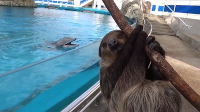Dolphins Happy To Meet their Sloth Neighbour During Coronavirus Lockdown