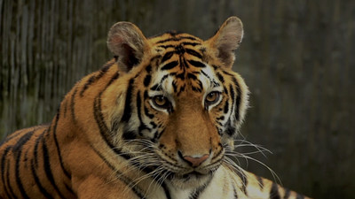 Tiger at New York Zoo Tests Positive for Coronavirus