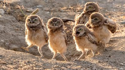 These Hilarious Shots of Burrowing Owls Are A HOOT!