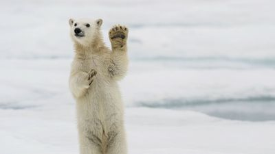 Polar Bear Cub Waves As Post-Lockdown Visitors Return to Svalbard