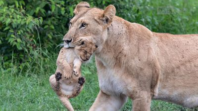 This lion cub is pictured reluctant to return to its mother