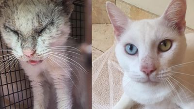 Cat With Eyes Crusted Shut With Mange Opens Them To Reveal Differently Coloured Eyes