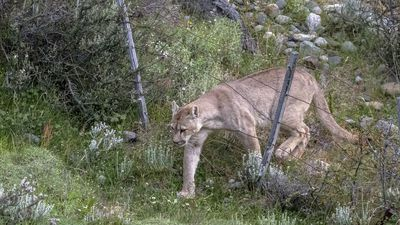 Photographer Captures Pumas Jumping Over Fences In Chile