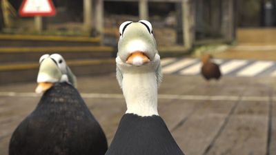 In Time For Valentine's Day: Zoo Shows Off Duck's Funny Mating Call