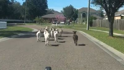 Sheriff Uses Car To Corral Escaped Goats