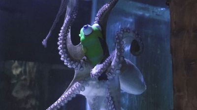 'Kraken' The Octopus Plays With Toys
