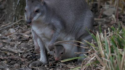 Surprise! Rare dusky pademelon born at Chester Zoo