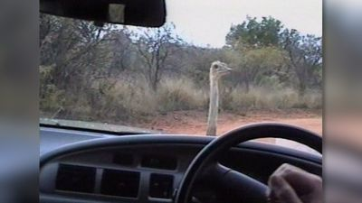 Ostrich racing against car!