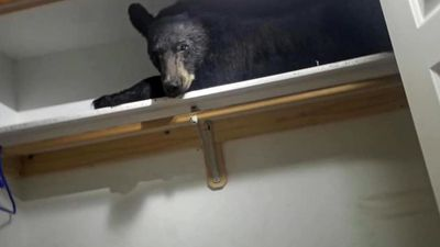 Bear Found Napping In Homeowner's Closet