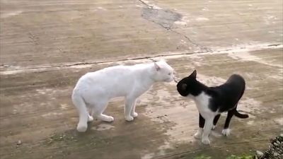 Cats 'fighting' on the street