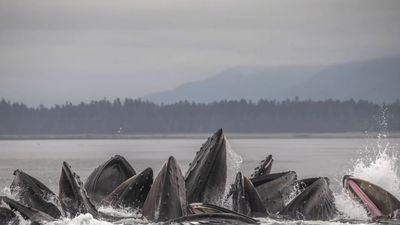 What These Humpback Whales Did Made Jaws Drop...
