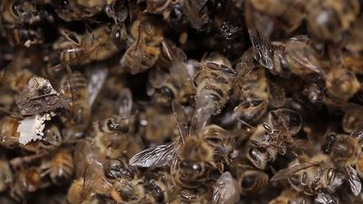 Half a billion bees dead in Brazil due to pesticide use