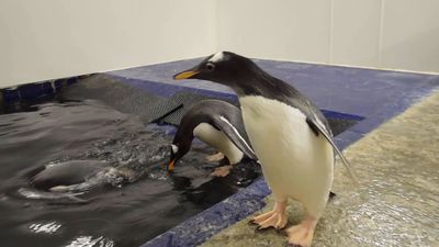 Rare Baby Penguin Takes Its First Swimming Lesson