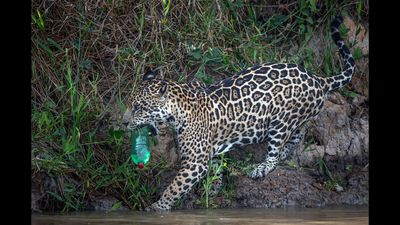 Photographer Captures Wild Jaguar Playing With Discarded Plastic Bottle