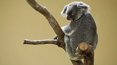 Koala Colonies Decimated by Wildfires in Australia