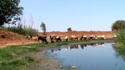Sewage from unknown source poisons Soweto livestock