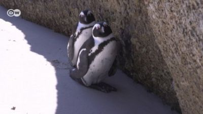 Bird flu threatens African Penguins