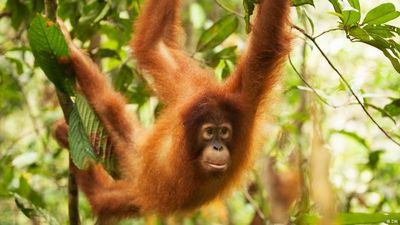 Orangutan: Out of the cage and into the jungle