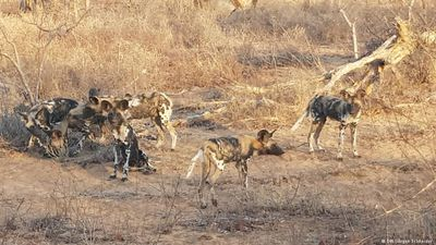 Zimbabwe: Help for Africa's wild dogs
