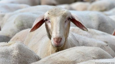 France: Sheep enrolled at school