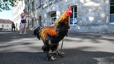France: Cock Fights in the Courts