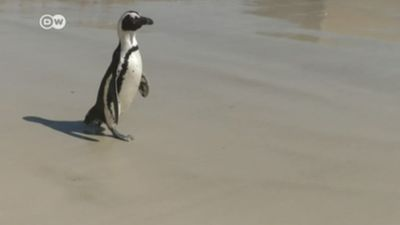 Yes, there are penguins in Africa, but for how long?