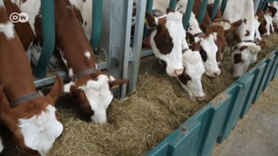 Netherlands: Floating Cow Stalls