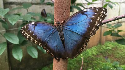 Costa Rica: Breeding butterflies for the world