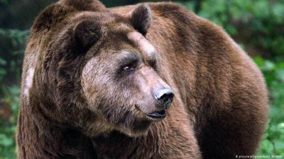 Brown bear alert in Transylvania