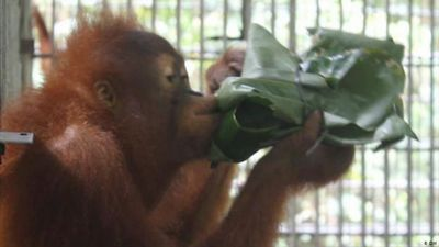 Indonesia: Homeschooling in the orangutan jungle school
