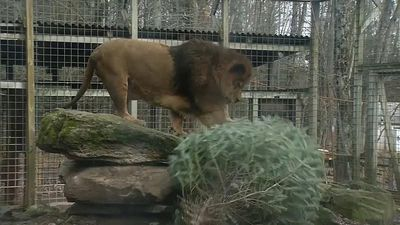 World News - Zoo animals welcome recycled Christmas trees