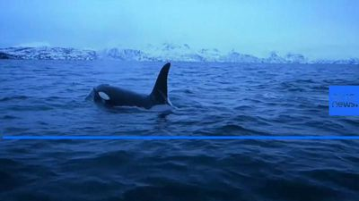 World News - Climate change forces killer whales further north to feed